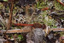 Große Heidelibelle, Sympetrum striolatum, Männchen auf Raureif (1).
