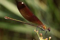 Bronzene Prachtlibelle, Calopteryx haemorrhoidalis, erwachsenes Weibchen (1).