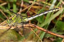 Grüne Flussjungfer, Ophiogomphus cecilia, erwachsenes Weibchen (4).
