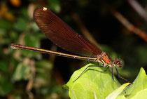 Bronzene Prachtlibelle, Calopteryx haemorrhoidalis, heranreifendes Weibchen.