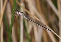 Hauben - Azurjungfer, Coenagrion armatum, junges Weibchen (1).