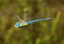 Südliche Mosaikjungfer, Aeshna affinis, Männchen auf Patrouillenflug 3