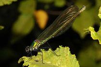 Gebänderte Prachtlibelle, Calopteryx splendens, Weibchen.