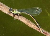 Großen Pechlibelle, Ischnura elegans, Eiablage (2).