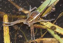Die sehr große Gerandete Jagdspinne (Dolomedes fimbriatus) jagt über und unter Wasser. Sie kann nicht nur Libellen, sondern auch deren Larven erbeuten.