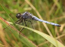 Kleiner Blaupfeil, Orthetrum coerulescens, erwachsenes Männchen mit blaubereiftem Thorax.