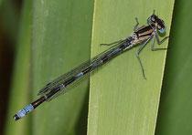 Gemeine Becherjungfer, Enallagma cyathigerum, heranreifendes Männchen.