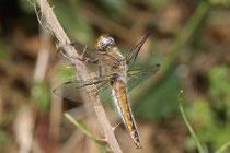 Spitzenfleck, Libellula fulva, reifes Weibchen.