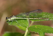 Speer - Azurjungfer, Coenagrion hastulatum, erwachsenes Weibchen (1).