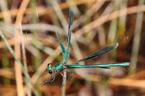 Ein Männchen der Gebänderten Prachtlibelle, Calopteryx splendens, verfangen in einem Radspinnennetz