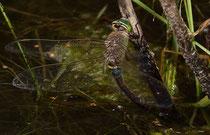 Solitäre Eiablage eines Weibchens der Kleinen Königslibelle (1).