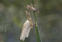 Vierfleck, Libellula quadrimaculata, Männchen, Schlupfunfall mit Todesfolge...