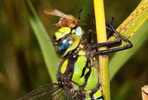 Ein Männchen der Blaugrünen Mosaikjungfer beim Verzehr eines größeren Beutestückes (2).