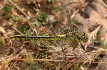 Gelbe Keiljungfer, Gomphus simillimus, heranreifendes Weibchen.