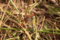 Frühe Heidelibelle, Sympetrum fonscolombii, Weibchen im Fehlgriff (2).