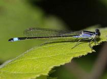 """Großen Pechlibelle, Ischnura elegans, Weibchen in der Jugendform """"violacea""""."""
