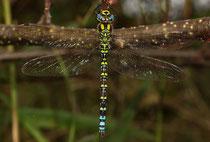 Erwachsenes Männchen der Blaugrünen Mosaikjungfer, Aeshna cyanea.