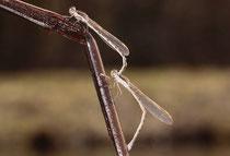 Gemeine Winterlibelle, Sympecma fusca, Eiablage (1).