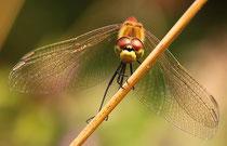 Sumpf-Heidelibelle, Sympetrum depressiusculum, erwachsenes Männchen, Frontalansicht.