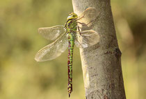 Grüne Mosaikjungfer, Aeshna viridis, erwachsenes Weibchen (1).