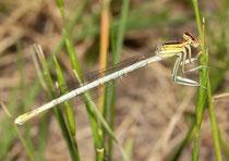 Weiße Federlibelle, Platycnemis latipes, erwachsenes Weibchen (2).