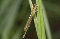 Kleine Pechlibelle, Ischnura pumilio, frisch geschlüpftes Weibchen.