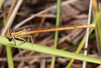 Rote Federlibelle, Platycnemis acutipennis, erwachsenes Weibchen (2).