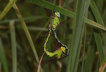 Paarungsrad der Grünen Mosaikjungfer, Aeshna viridis, (2).