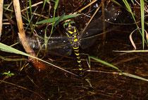 Zweigestreifte Quelljungfer, Cordulegaster boltonii, Weibchen bei der Eiablage (4).