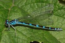 Vogel - Azurjungfer, Coenagrion ornatum, ein Weibchen in der blauen Variante.