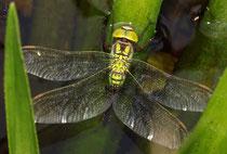 Aeshna viridis bei der Eiablage an der Krebsschere (3).