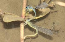 Vogel - Azurjungfer, Coenagrion ornatum, Eiablage getaucht, an Wasserehrenpreis (Veronica beccabunga).