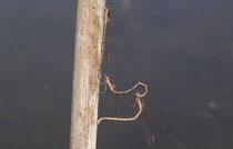 Gemeine Winterlibelle, Sympecma fusca, ein Männchen mit einem paarungsunwilligen Weibchen in Tandemformation.