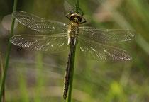 Glänzende Smaragdlibelle, Somatochlora metallica, Männchen nach dem Schlüpfen (4).