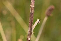 Ein juveniles Weibchen der Sibirischen Winterlibelle, Sympecma paedisca. Beachte die hervorragende Tarnung.