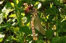 Zweigestreifte Quelljungfer, Cordulegaster boltonii, Weibchen beim Schlupf.