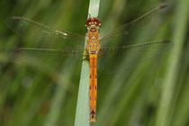 Sumpf-Heidelibelle, Sympetrum depressiusculum, junges Weibchen.