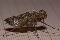 Zierliche Moosjungfer, Leucorrhinia caudalis, Exuvie (1).