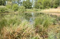 Habitat des Plattbauchs, Libellula depressa (2). Verkrautete Gewässer wie dieses werden ebenso besiedelt.