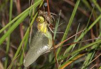 Schwarze Heidelibelle, Sympetrum danae, Weibchen beim Schlupf (2).