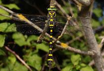 Zweigestreifte Quelljungfer, Ssp. Cordulegaster boltonii immaculifrons, erwachsenes Männchen (1).