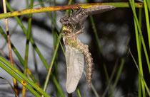 Früher Schilfjäger, Brachytron pratense, Männchen beim Schlupf (2).