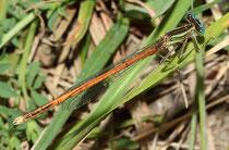 Rote Federlibelle, Platycnemis acutipennis, erwachsenes Männchen (5).