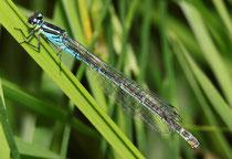 Hufeisen - Azurjungfer, Coenagrion puella, Weibchen in blauer Variante.