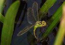 Aeshna viridis bei der Eiablage an der Krebsschere (4).
