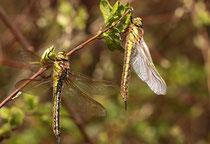 Früher Schilfjäger, Brachytron pratense, junge Weibchen ruhend in der Ufervegetation
