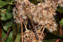 Herbst-Mosaikjungfer, Aeshna mixta, erwachsenes Weibchen (1).