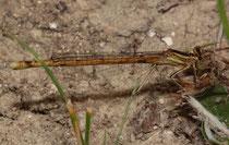 Rote Federlibelle, Platycnemis acutipennis, junges Weibchen (2).