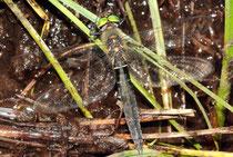 Alpen-Smaragdlibelle, Somatochlora alpestris, ruhendes Weibchen (1)