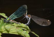 Gebänderte Prachtlibelle, Calopteryx splendens, Kopula (1).